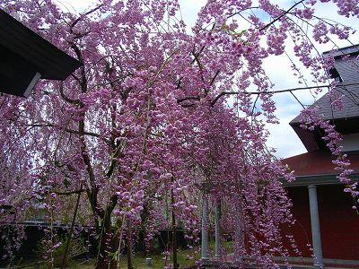 s-角館の桜 002.jpg